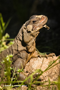 HEY!  DO YOU MIND!?  I'M UNDRESSING HERE!   DESERT IGUANA SHEDDING A LAYER OF OLD SKIN.
