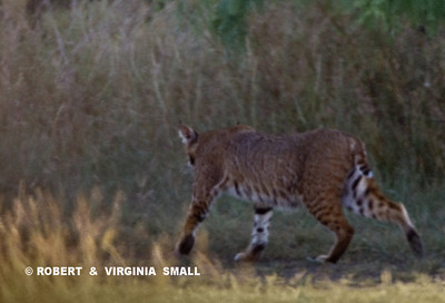 GLIMPSE OF A (VERY LARGE) BOBCAT IN THORN BRUSH