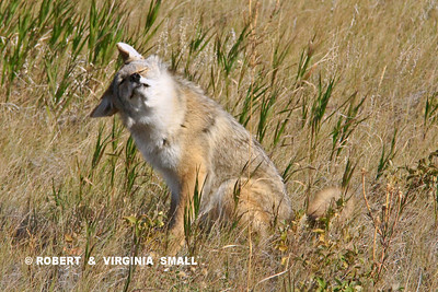COYOTE RESTING IN SUNLIGHT
