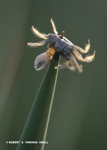 SANDCRAB IMPALED ON AGAVE (Loggerhead Shrikes 'store' prey in this fashion)