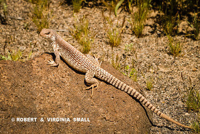 VERY IMPRESSIVE DESERT IGUANA - AND HE KNOWS IT, DOESN'T HE?