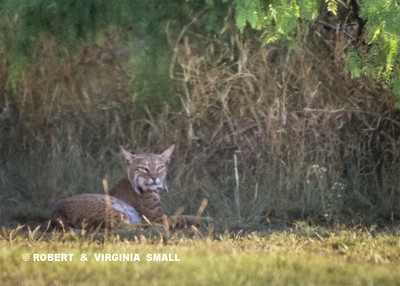 A TURN IN A TRAIL REVEALS - A BOBCAT WATCHING FROM THE SHADE!