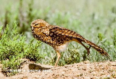"LOOKS LIKE ""A GUY THING"" (YOU KNOW:  JUST ADJUSTING ""THE PACKAGE""!) BUT IT'S JUST A LEG AND WING STRETCH FOR THIS YOUNG BURROWING OWL AS HE WATCHES OVER THE TERRITORY AROUND HIS BURROW."