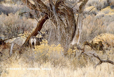 MULE DEER DOE AND DESERT BRUSH
