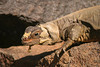 THIS DESERT IGUANA IS SHEDDING THE OLD LAYER OF SKIN THAT IT HAS OUTGROWN.