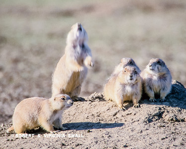 A BLACK-TAILED PRAIRIE DOG GIVES AN ALARM (or AN ALL CLEAR) CALL AS OTHERS WATCH FROM THEIR MOUND
