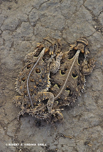 TEXAS LONG-HORNED LIZARDS MATING (Endangered Species)