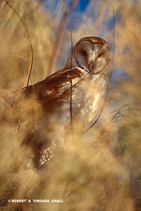 BARN OWL IN SALT CEDAR
