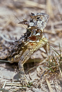 TEXAS LONG-HORNED LIZARD