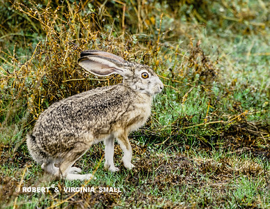 WHITE-TAILED JACKRABBIT SITTING FOR A FORMAL PORTRAIT