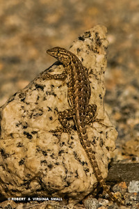 A NICELY PATTERNED EXAMPLE OF A MEMBER OF THE WHIPTAIL LIZARD FAMILY