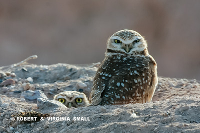 WOULD YOU WANT TO TANGLE WITH HIM!?  DON'T THINK SO.  THE MALE BURROWING OWL KEEPS A VIGILANT EYE ON HIS TERRITORY FOR HIMSELF AND HIS FEMALE COHABITANT.  NOTE THE LOVELY LEFTOVER BONES OF THEIR PREVIOUS MEAL AT THE LOWER LEFT OF THE PICTURE . . . HE IS A GOOD PROVIDER . . .