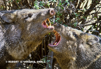 FIGHTING JAVELINAS