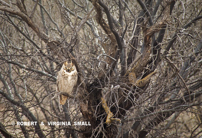 GREAT HORNED OWL IN DESERT BRUSH
