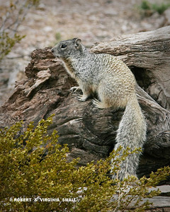 THE ROCK SQUIRREL MIRRORS  THE COLORS OF ITS HABITAT