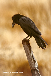 PERCHED CHIHUAHUAN RAVEN