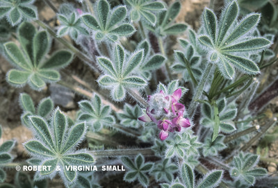 A FUZZY-LEAVED SAND LUPINE BURSTING OUT OF THE DESERT FLOOR