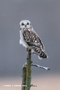 THIS BEAUTIFUL LITTLE SHORT-EARED OWL CAME OUT AND DEFINITELY BRIGHTENED UP A RATHER DULL AND RAINY DAY FOR US.