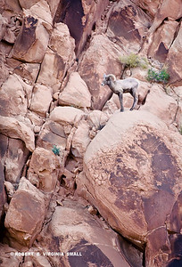 DESERT BIG HORNED SHEEP
