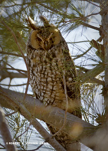 PERCHED LONG-EARED OWL