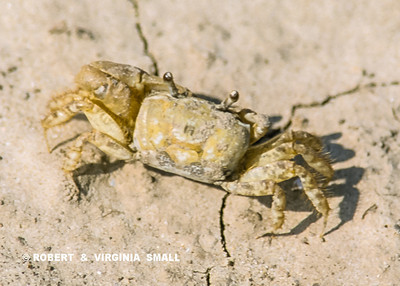 THE APPEALING LITTLE SAND CRAB WITH HIS STALKED EYES