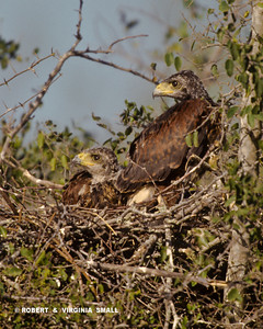 HARRIS HAWK NESTLINGS