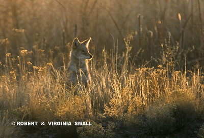 COYOTE IN A PATCH OF SUNLIGHT