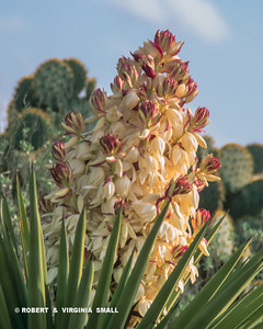 A YUCCA PLANT IN FULL BLOOM, A SPLASH OF SOFT COLOR IN THE SOUTHWEST DESERT