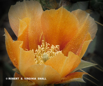 BLOSSOM OF HEDGEHOG CACTUS