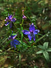 <em>Delphinium hesperium</em> ssp. <em>hesperium</em>, Western or Coast Larkspur, native.  <em>Ranunculaceae</em> (Buttercup family). Mount Diablo State Park, Contra Costa Co., CA  4/25/10
