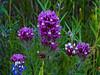 <em>Castilleja exserta</em> ssp. <em> exserta</em>, Purple Owl's Clover, native.  <em>Orobanchaceae</em> (Broomrape family  {Ex <em>Scrophulariaceae</em>}). Mount Diablo State Park, Contra Costa Co., CA  4/25/10