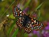 Edith's Checkerspot, <em>Euphydryas editha</em> Mount Diablo State Park, Contra Costa Co., CA  4/25/10