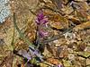 <em>Streptanthus hispidus</em>, Mount Diablo Jewel Flower, native.  <em>Brassicaceae</em> (=<em>Cruciferae</em>, Mustard family). Mount Diablo State Park, Contra Costa Co., CA  4/25/10  jm2p572