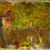 An art photograph of wild alert white tailed doe.