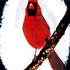 Art photograph,of Male Cardinal