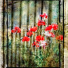 Poppies composite, digital photography