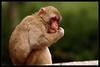 Japanmakak / Japanese Macaque