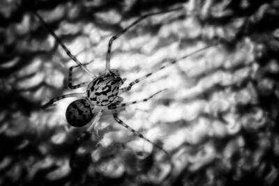Black'n'White - Spider