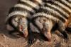 FAKE! - Schwarz-Weiß gestreifte Zebramangusten