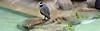 Graureiher im Pinguingehege