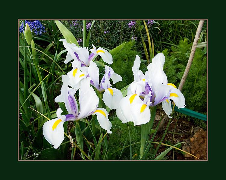 Carmen Dutch Iris Patch, Auburn, CA.