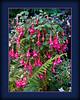 Fuchsias in Butchard Gardens, B.C.