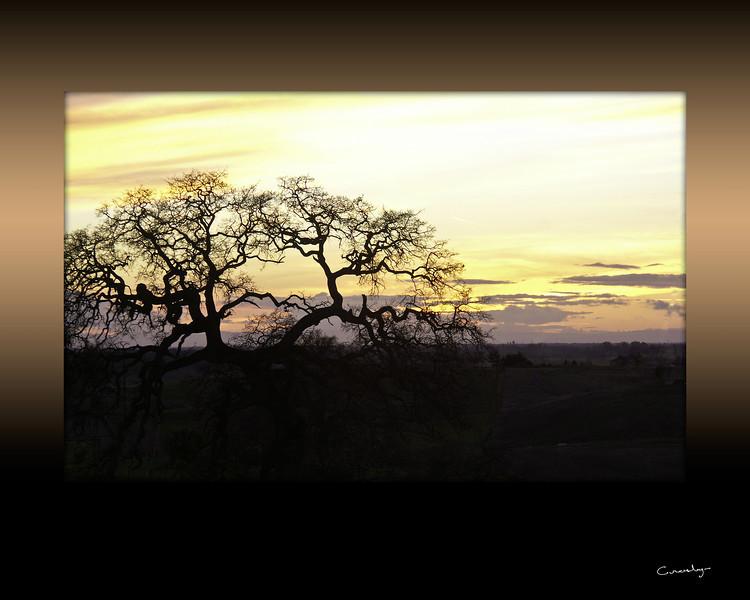 Oak Tree in Sunset, CA.