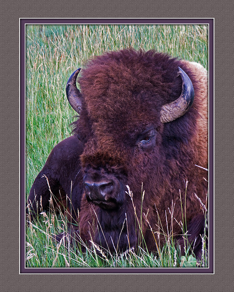 Bison Full Head Portrait