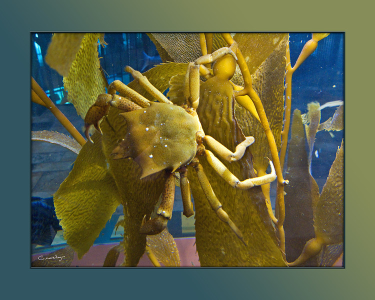 Crab on Kelp, Monterey Bay Aquarium, CA