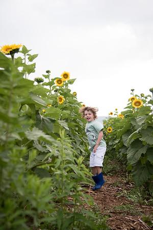 Sunflowers8894_