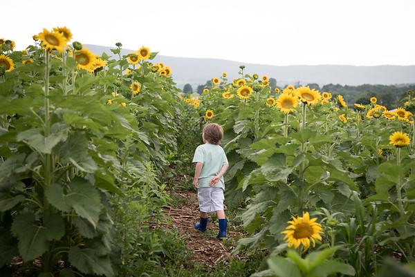 Sunflowers8887_