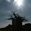 A baobab tree on the savanna of Kilimanjaro Safaris, Harambe, Africa - Disney's Animal Kingdom® Theme Park.