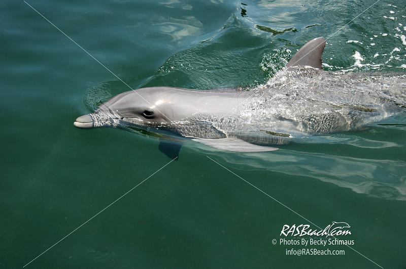 Dolphin_1
