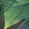 Leaf Macro Green